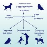 Genetic Obesity In Labrador Retrievers
