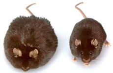 oth of these mice were obese, but the one on the right lost weight after being injected with genetic material. Photo / AP