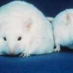 fat rats
