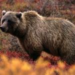 grizzly-bear_566_600x450