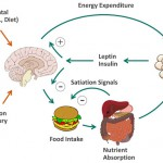 insulin leptin