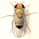 sharma-obesity-drosophila1