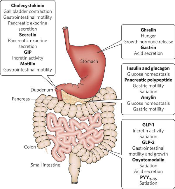 sharma-obesity-guthormones2