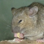 sharma-obesity-mouse-eating