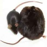 sharma-obesity-obese_mice