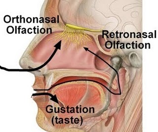 sharma-obesity-olfaction
