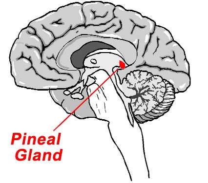 sharma-obesity-pineal-gland